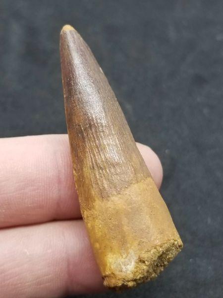 #0858 Super nice Spinosaur tooth