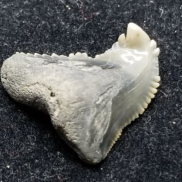 #0879 Twisted Pathological Hemipristis shark tooth