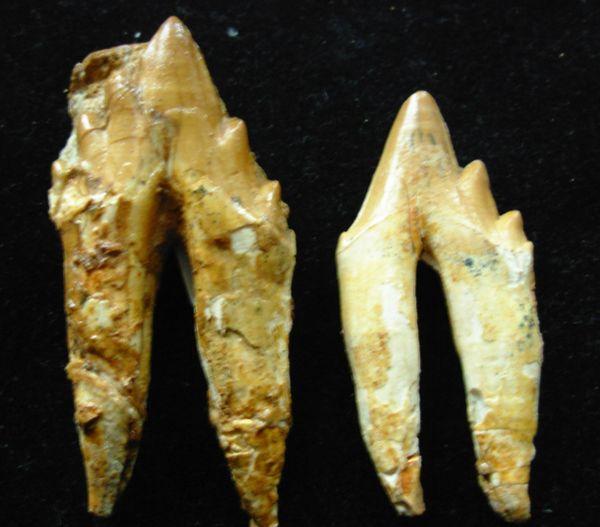 Associated Pair of Peruvian Durodon sp. Fossil Whale Teeth