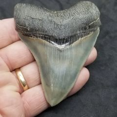 #0974 Sweet Georgia Megalodon shark tooth