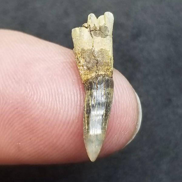 #0980 Rare Cretaceous Sawshark tooth