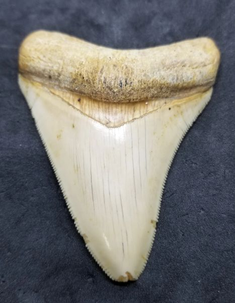 "#0983 3.25"" Indonesian Megalodon shark tooth"