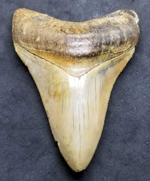 "#0984. Colorful 3.91"" Indonesian Megalodon shark tooth"