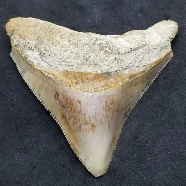 "#0985 Small 2.8"" Posterior Indonesian Megalodon shark tooth"