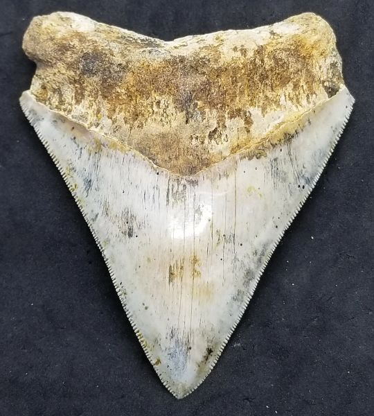 "#0986. Ivory colored 3.86"" Indonesian Megalodon shark tooth"