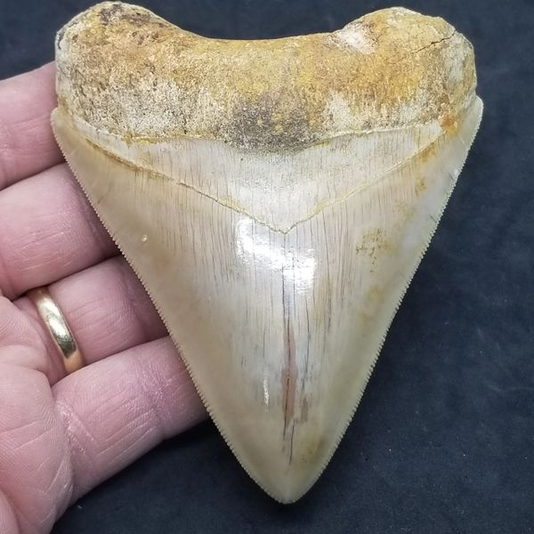 "#0988 Killer 4.5"" Indonesian Megalodon shark tooth"