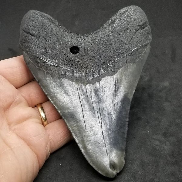 "#0991 Split tipped 5.67"" Pathological Megalodon shark tooth"