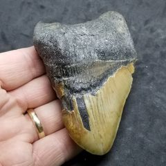 #0993 Pinched Pathological Megalodon shark tooth