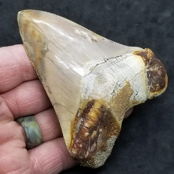 """#1004 Mottled colored 3.92"""" Peruvian Megalodon shark tooth"""