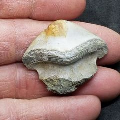 #1006 paleozoic Petalodont shark tooth