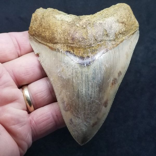 #1022 Awesome Indonesian Megalodon shark tooth
