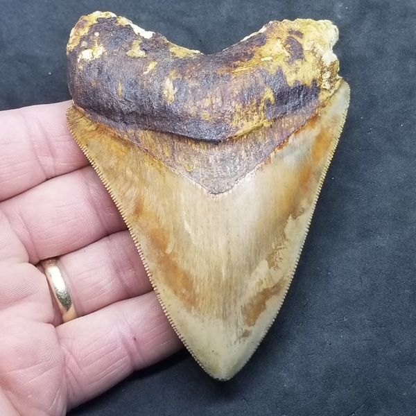 #1021 Gorgeous colored Indonesian Megalodon shark tooth