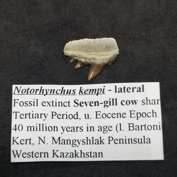 #1031 Notorhynchus kempi, Kazakhstan