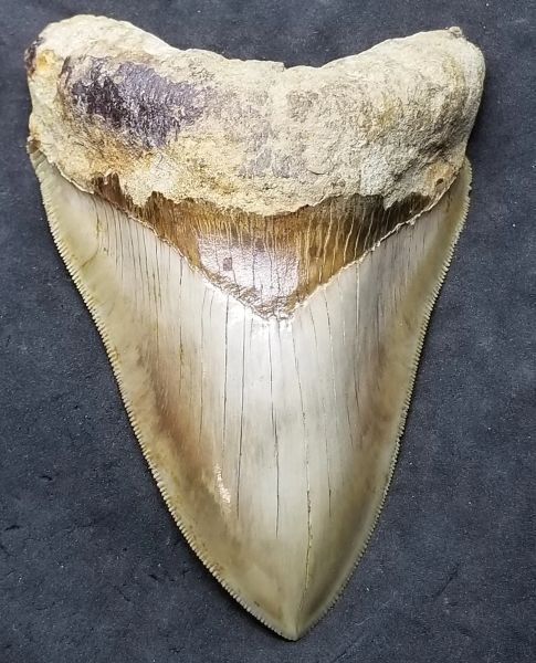 #1035 Awesome Lower Indonesian Megalodon shark tooth
