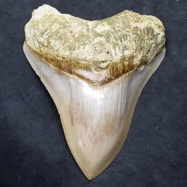 #1036 Phenomenal Colored Indonesian Megalodon shark tooth