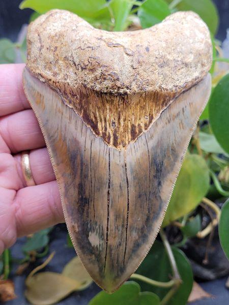 #2016 mottled color Indonesian Megalodon shark tooth
