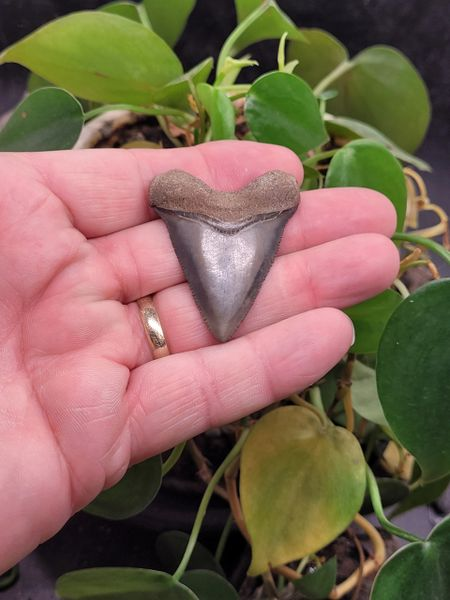 #2023 XL Hubbell type Baby Megalodon shark tooth
