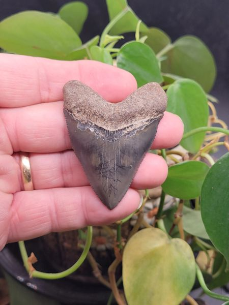 #2024 Huge Hubbell type baby Megalodon shark tooth