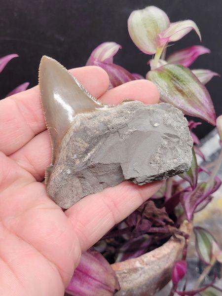 """#2038 Razor sharp 2.78"""" Angustidens shark tooth Mexico"""