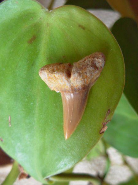 Misrichthyes Stromeri Shark Tooth Morocco
