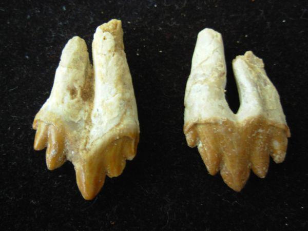 Pair of Juvenile associated Basilosaurus sp. Teeth