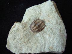 Cordania falcata, Oklahoma Trilobite 3D prepped