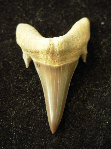 Jaekelotodus Trigonalis Fossil Shark Tooth #2