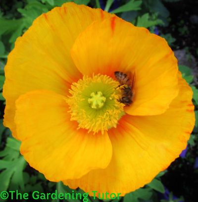 Yellow Iceland Poppy with orange center and a honey bee hugging the anthers to get pollen