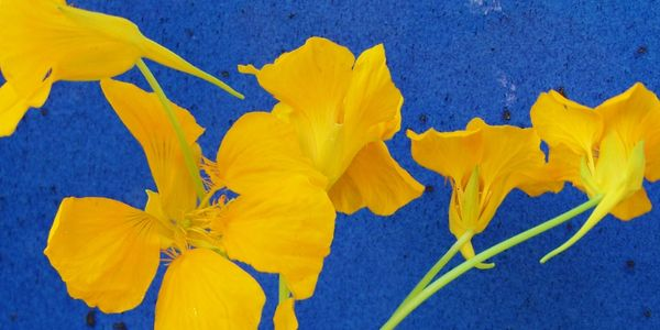 Bright yellow Nasturtiums in front of a brilliant, sea blue, gazed pottery background.