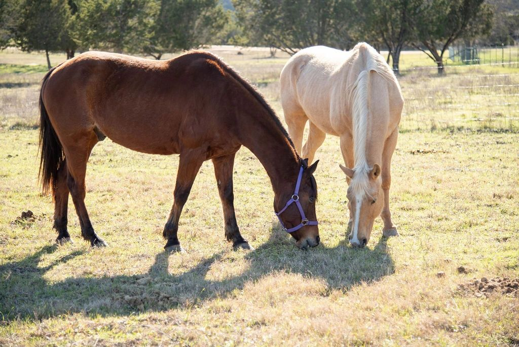 Two horses grazing in pasture on Angel Wings Ranch
