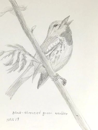 Pencil - Black-Throated Green Warbler