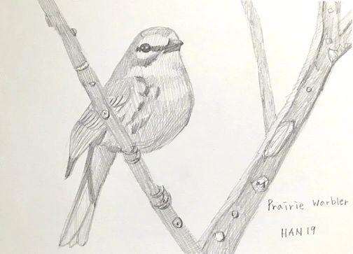 P - Prairie Warbler