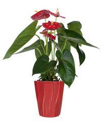 Tropical Anthurium Plant -pla20