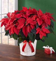 Poinsettia Plant - chr18