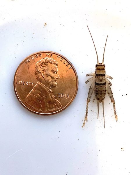 3-4 WEEK 1/2 INCH HALF GROWN CRICKETS