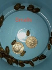 BUG AND GRUB SPECIAL 500 SMALL DUBIA AND 100 CACLI GRUBS