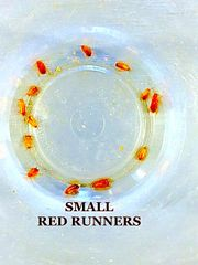 SMALL RED RUNNERS (AKA TURKISTAN ROACHES )