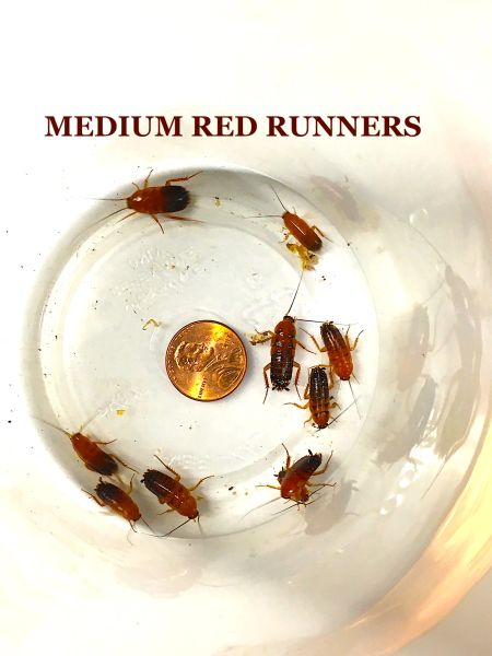 MEDIUM RED RUNNERS AKA RUSTY REDS AKA TURKISTAN ROACHES