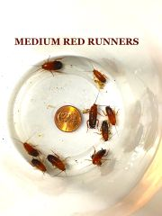 MIXED MEDIUM / SMALL RED RUNNERS AKA TURKISTAN ROACHES