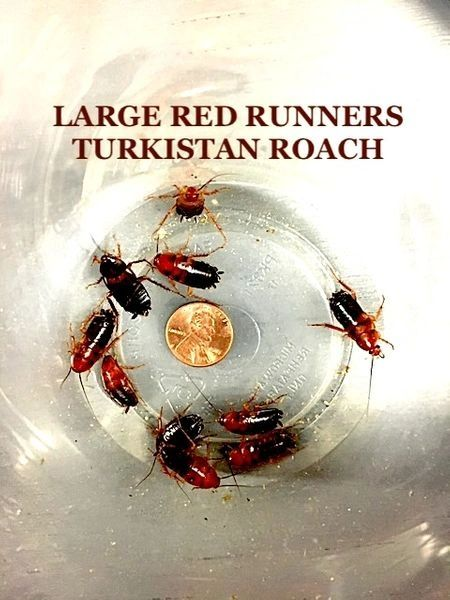 MIXED LARGE AND MEDIUM RED RUNNERS AKA TURKISTAN ROACH