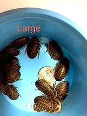 BULK LARGE DUBIA 7/8 - 1 INCH SORTED SIZE BAGGED