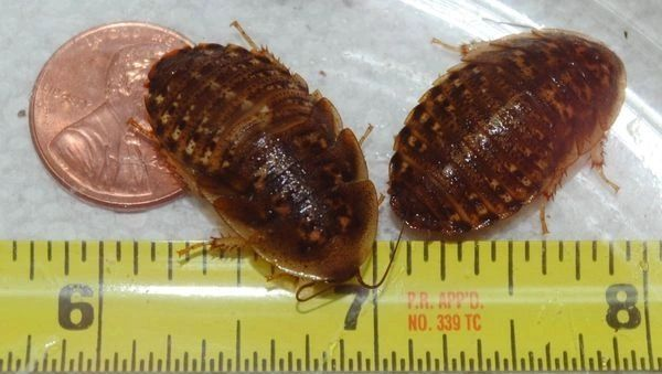 532 GRAMS 7/8-1 INCH LARGE DUBIA ( APPROX 1000 COUNT )