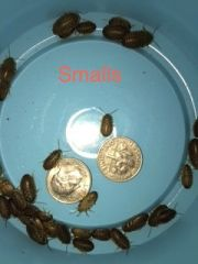 1000 SMALL DUBIA NYMPHS SALE !!