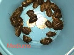 Quick Select Medium Dubia Nymphs (BAGGED)
