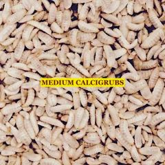 1000 COUNT MEDIUM CALCI GRUBS FLASH SALE !!!