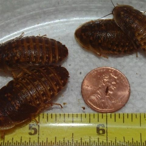 1/4 POUND (114 grams) LARGE AND EXTRA LARGE DUBIA 3/4 TO 1 3/4 INCHES