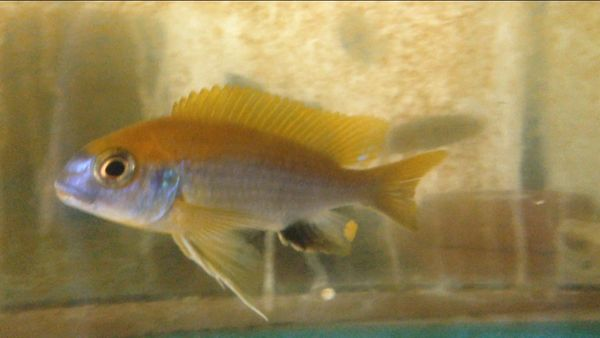 Gephrochromis moorii Msuli Point - juvenile