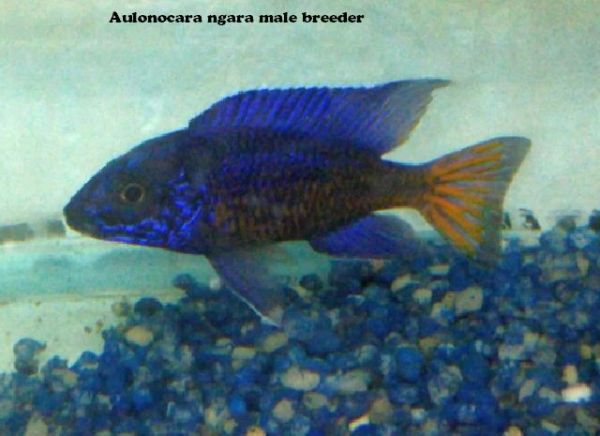 Aulonocara Ngara - small