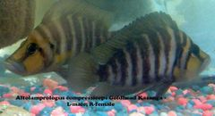 Altolamprologus compressiceps Goldhead