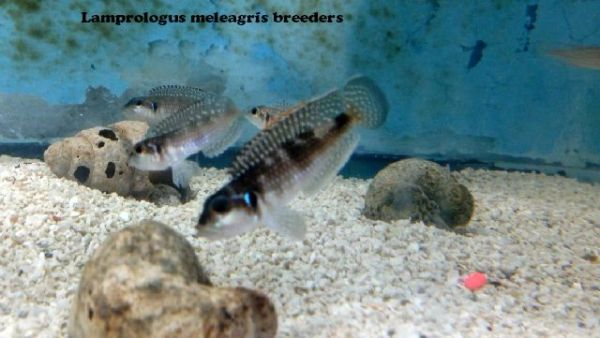 Lamp Meleagris - juvenile